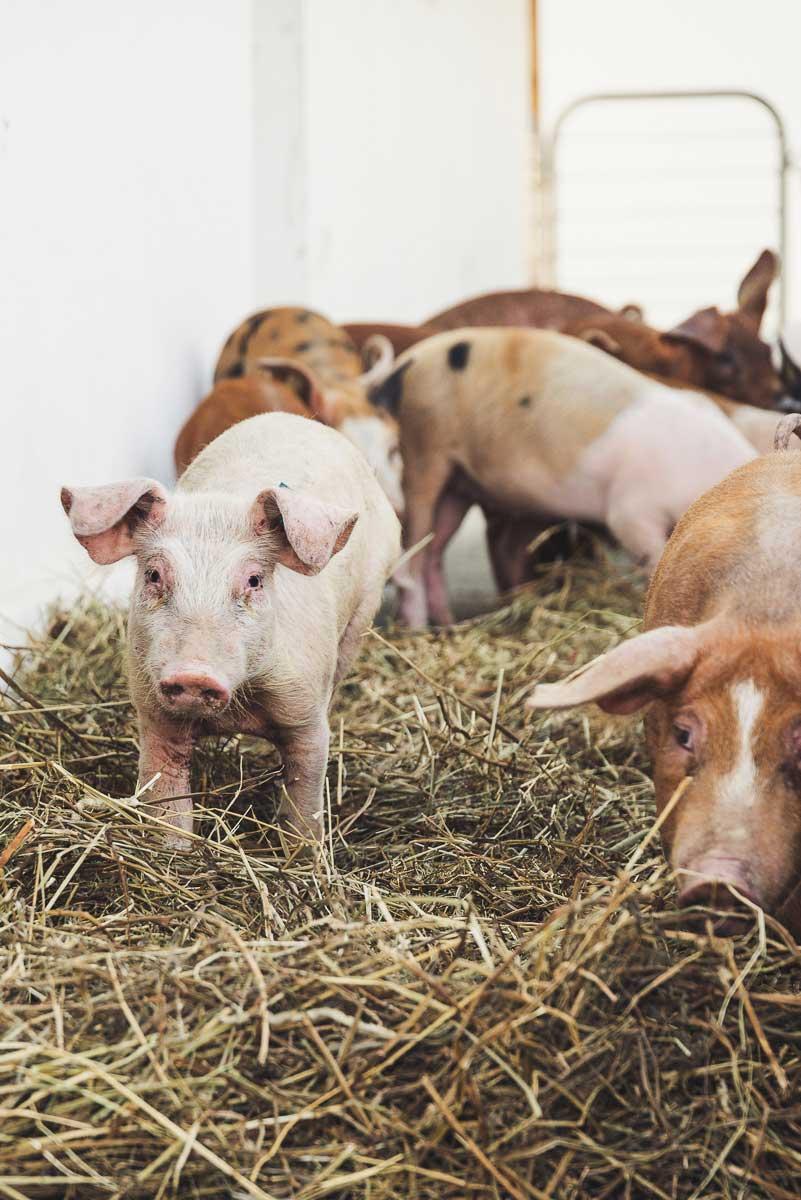 Schwäbisch-Hällische Landschwein-Rassen mit Einkreuzung von Duroc