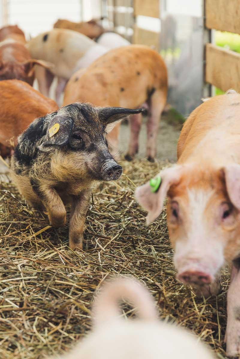 Duroc-Schwein von Brunnwaldl`s