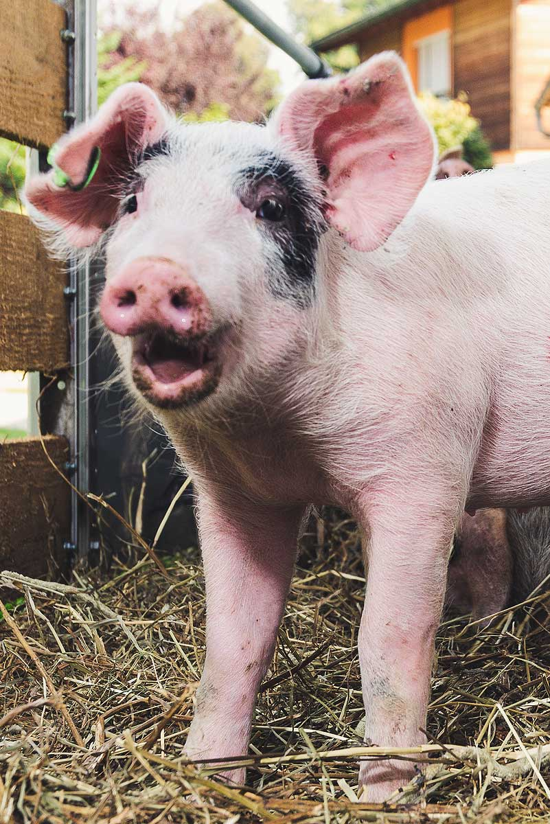 Heuwuggerl – Schwäbisch-Hällische Landschwein mit Einkreuzung von Duroc